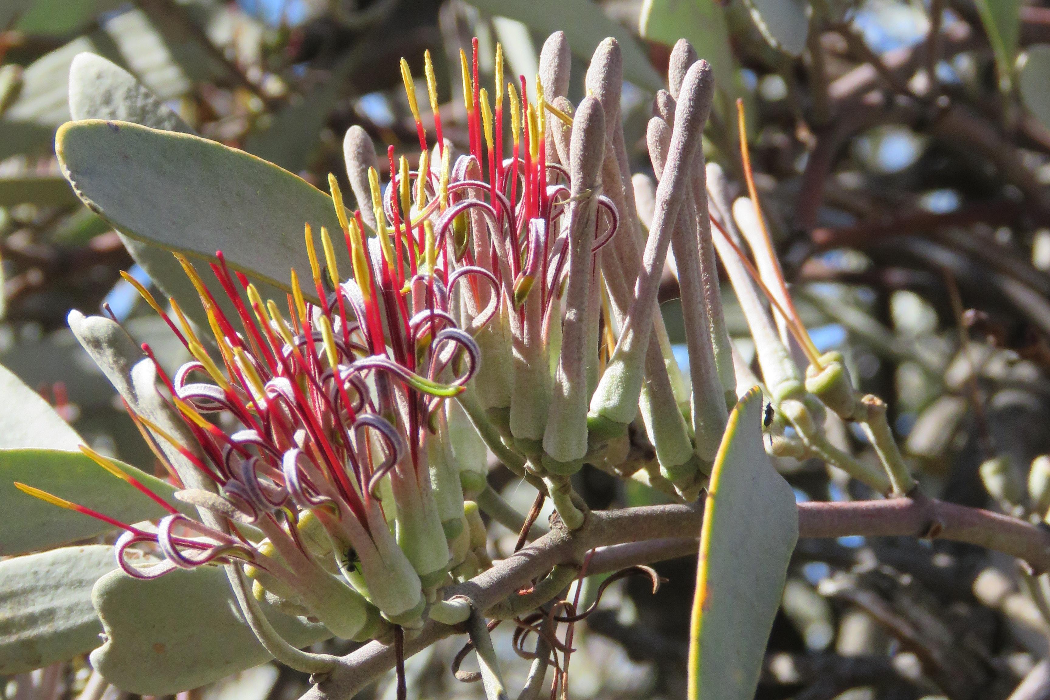 Australian Mistletoes In The Environment