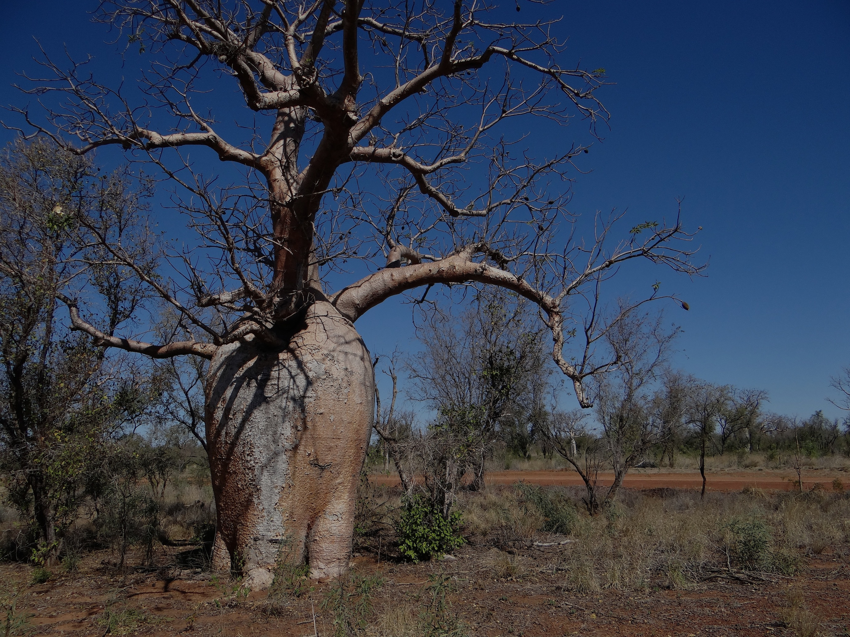 A stately Boab, Adansonia gregorii. Photo: Michele Kapitany.