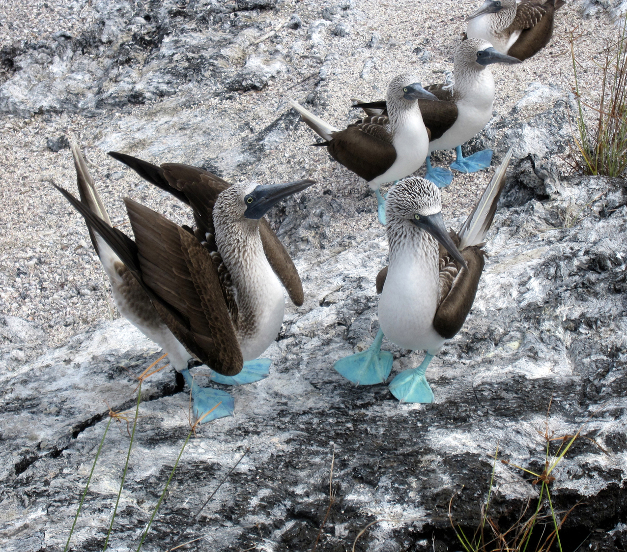 Group Of Blue-footed Boobies. Image By Lynsey Poore