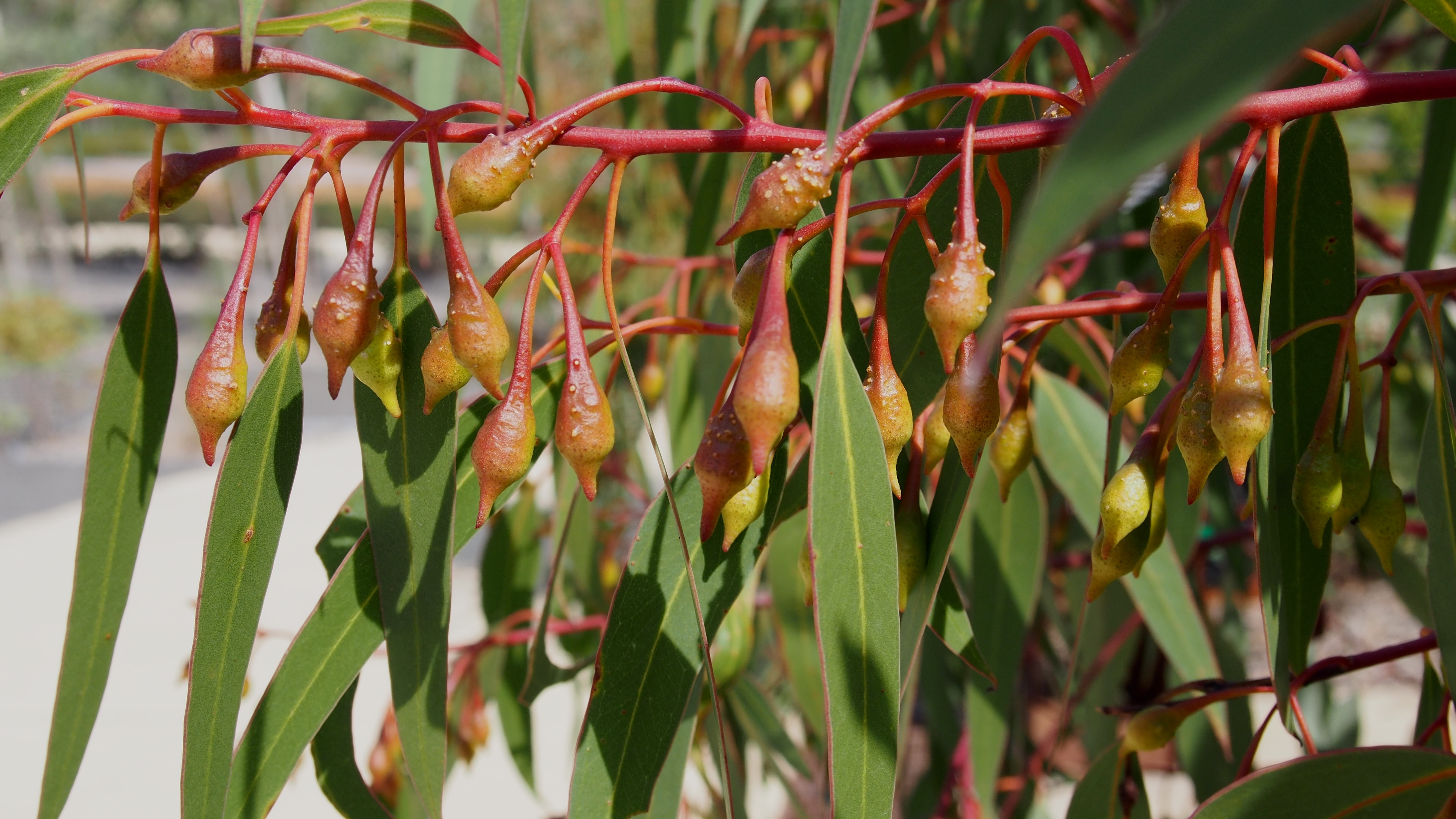 Eucalyptus leucoxylon by Chloe Foster