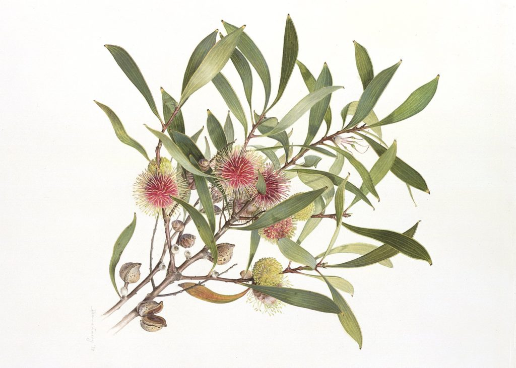 Botanical illustration of Hakea Laurina by Dianne Emery