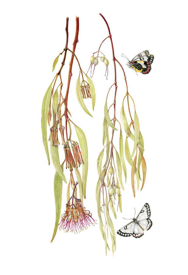 Botanical Illustration By Sandra Sanger 'Jezebel Butterlies (Deliaspecies) Are Enticed To The Rich Nectar Of The Drooping Mistletoe, Amyema Pendula Flowers'.