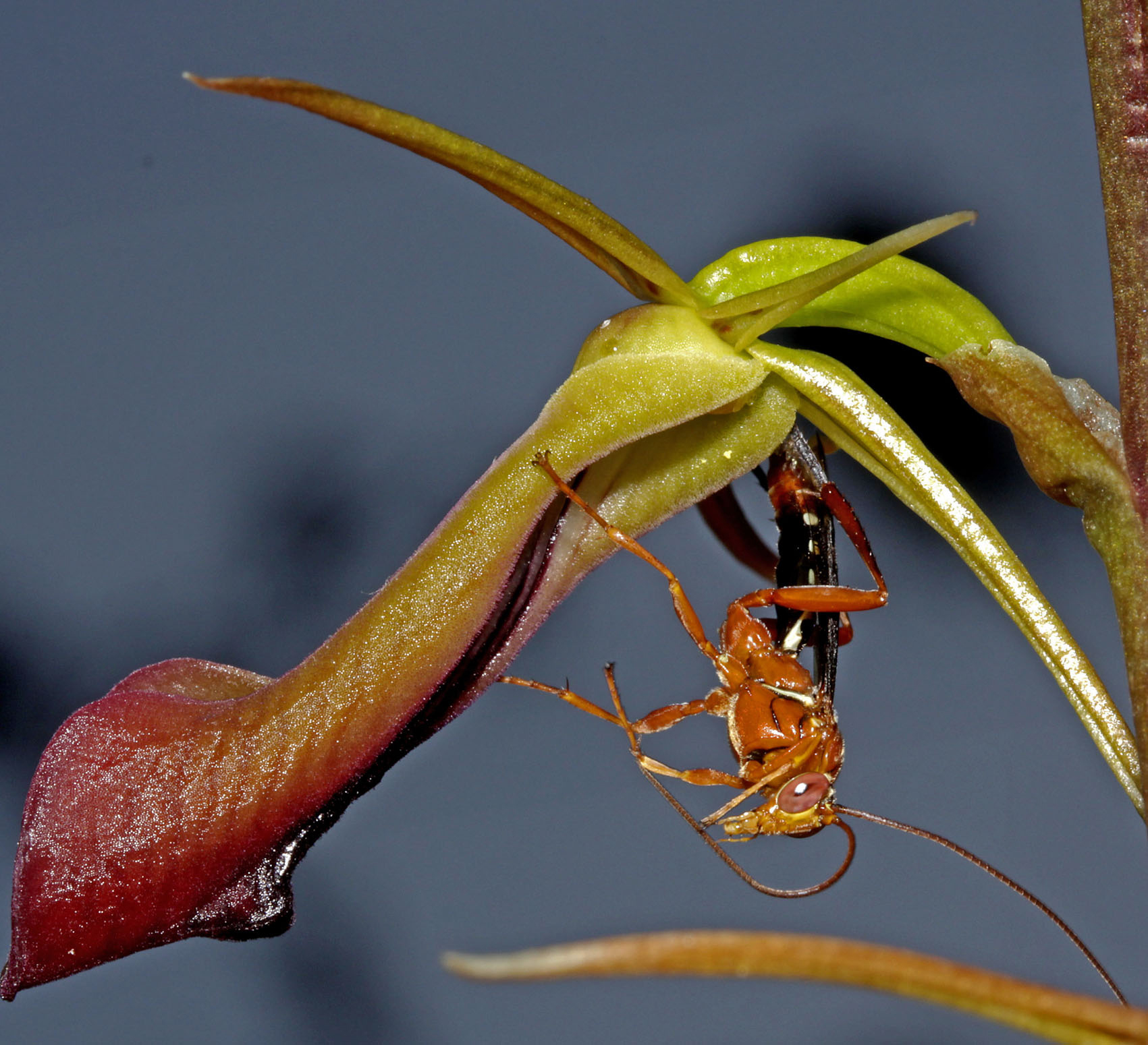 Cryptostylis Subulata & Wasp Photo: Mitch Smith