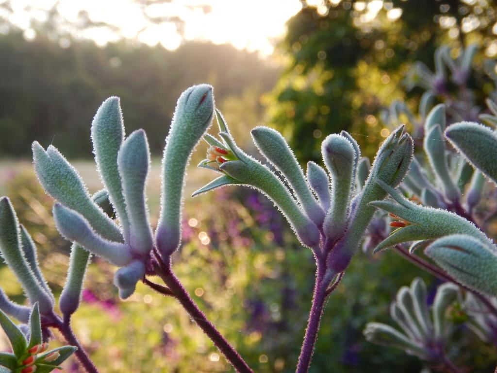 Anigozanthos 'Landscape Violet'