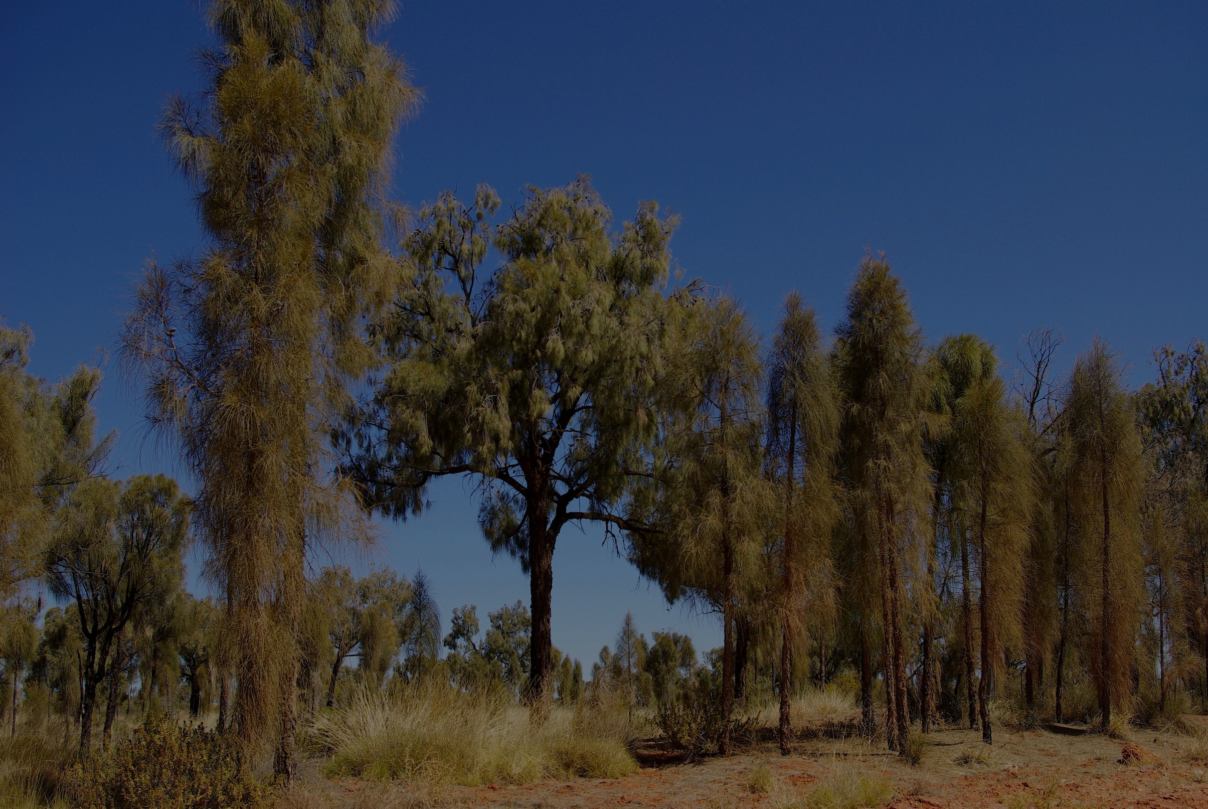 Young and mature plants of Allocasuarina decaisneana beside the 'Red Centre Way', Northern Territory. Photo: Rodger Elliot