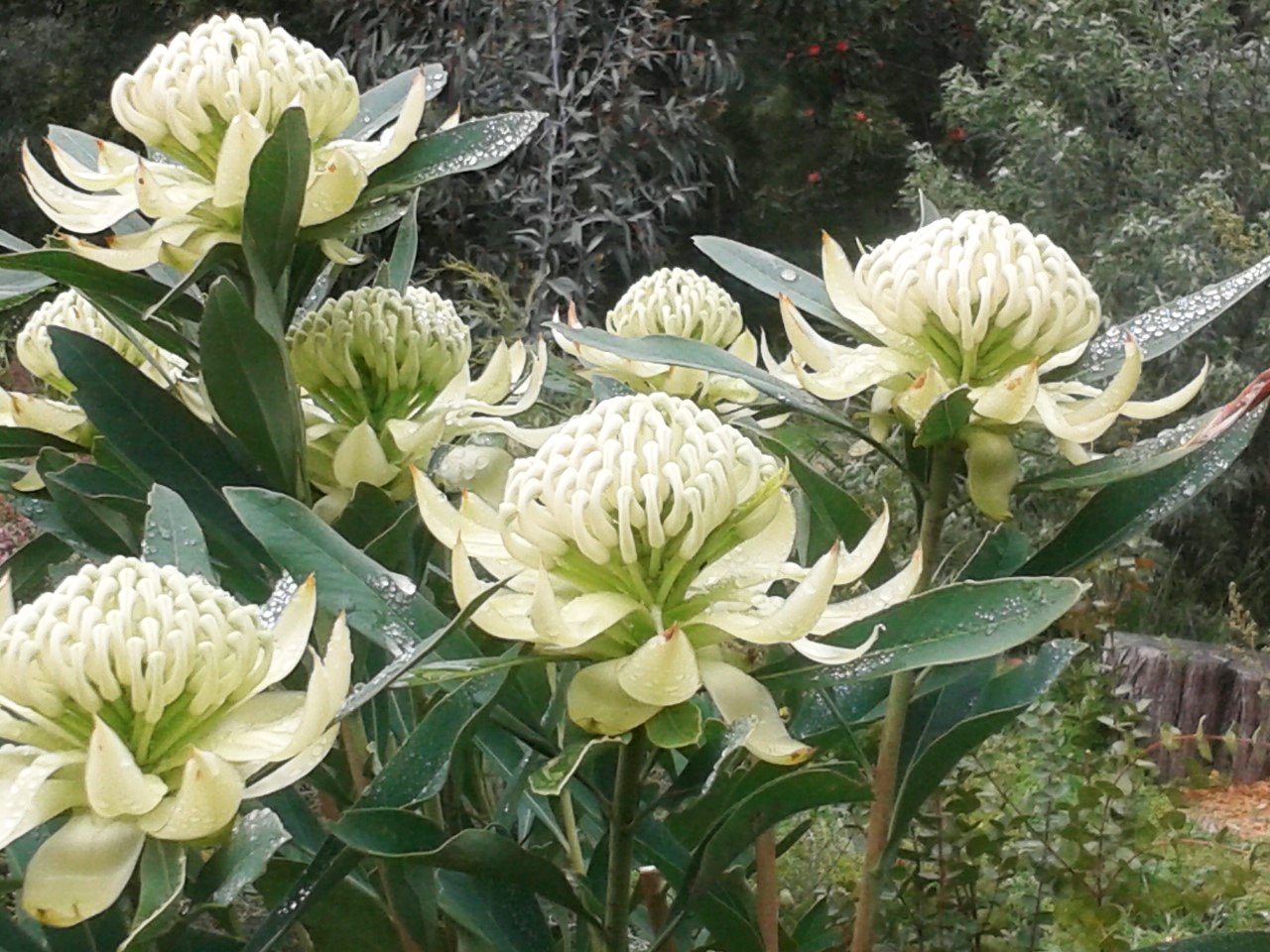 Drawing And Painting A White Waratah