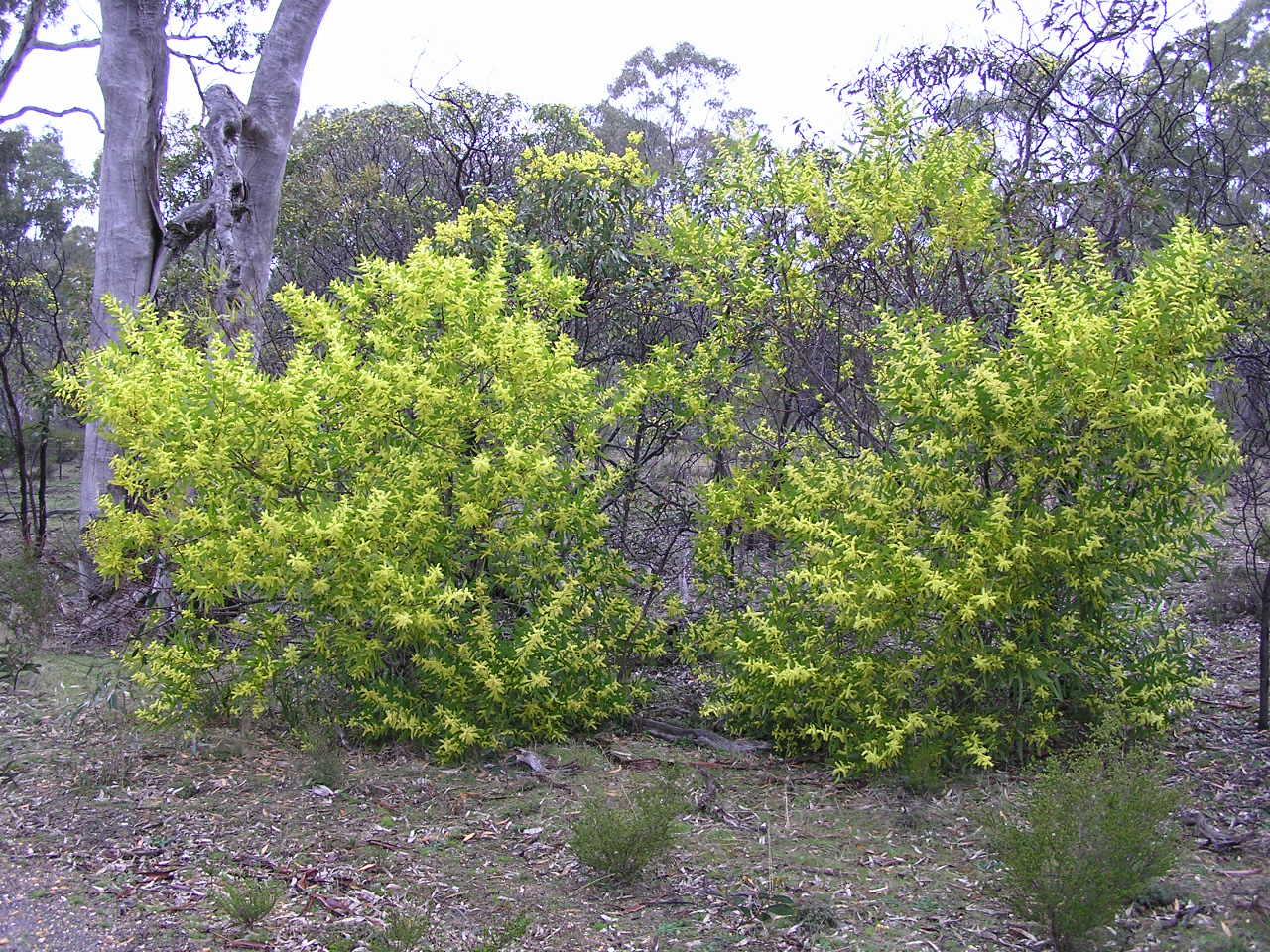 Australian Plants As Weeds. Afternoon Talk