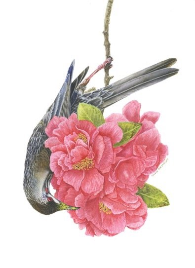 Botanical Illustration of Red Wattle Bird in Camellia